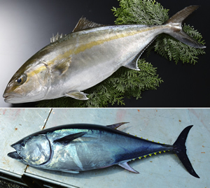 ブランド養殖魚マダイ
