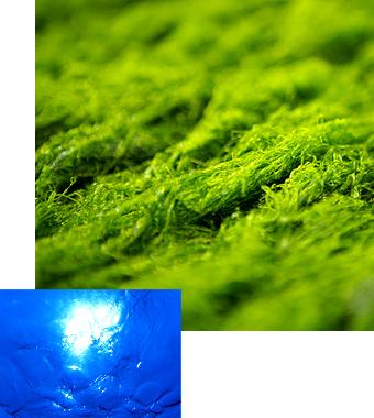 海洋深層水青のり