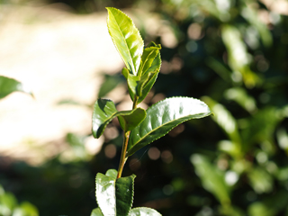 茶畑の碁石茶葉