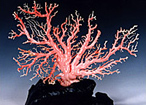 ピンクサンゴ
